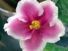 African violet PLUG starter plant TAFFETA PETTICOATS
