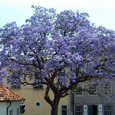 50Pcs Worlds Fastest Growing Tree Princess Paulownia Tomentosa Seeds For Garden