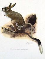 Impression Affiche Histoire Naturelle l'Allactaga géant allactaga major