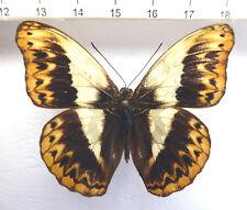Nymphalidae, CYMOTHOE Herminia ssp.? male, Rare Ex Rep. CENTRAFRICAINE n577a