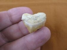 S1710-1) HEART Fossil SQUALICORAX Crow Raven Shark Tooth teeth necklace pendant