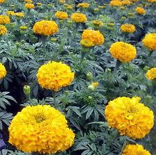 50 Flower Seeds Of Each Pack Yellow Aztec Marigold Seeds Tagete Erecta A005 Hot