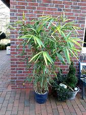 Pseudosasa japonica, japanischer Pfeilbambus, 160-170 cm, Bambus + Dünger