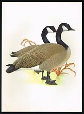 1950s Vintage Canada Goose Canadian Geese Bird Art Print