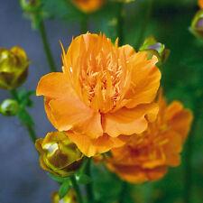 Kings Seeds-Trollius Golden Queen - 100 semillas