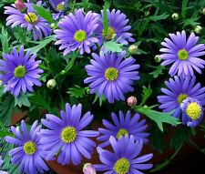 BRACHYCOME BLUE SPLENDOR Brachycome Iberidifolia - 100 Seeds