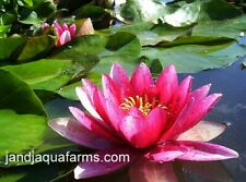 Red Water Lily Attraction Aquatic filter plants koi pond garden J&J Aquafarms