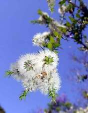 Prickly Paperbark Seed Drought/Frost/Salt Tolerant