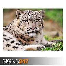 WHITE SNOW LEOPARD (3485) Animal Poster - Photo Poster Print Art A0 A1 A2 A3 A4