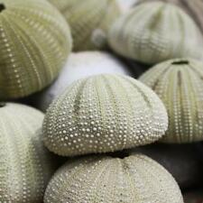 Green Sea Urchin | Pack of 3 | Beach Shells | Natural Decor