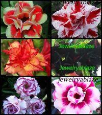 """Adenium Obesum Desert Rose /"""" BondyRed/"""" 110 Seeds RARE!!"""