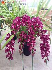 100 Purple Cymbidium Seeds Garden Terrace Orchid Bonsai Seeds