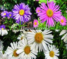Alpine aster couleurs mélangées - 150 graines-aster alpinus-rocaille fleur