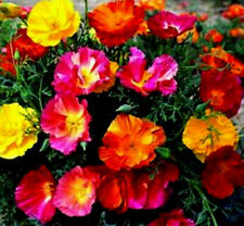 New listing 1 oz Mixed Poppy Seeds, Heirloom Poppies, Bulk Poppy Seeds, Approx 15,550