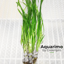 Jungle Vallisneria Spiralis 6 Bundles Tropical Freshwater Aquarium Live Plant