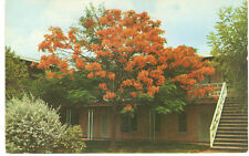 1957 PPC Royal Poinciana Tree in Texas Blooming by Hotel