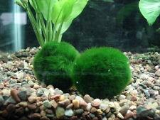 Cladophora 4-5cm pianta vera per acquario d'acqua dolce, simil muschio, marimo