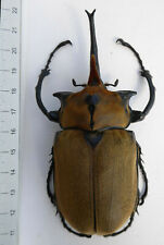 Megasoma elephas ssp.occidentalis,MEXICO  size:113mm  K5/10