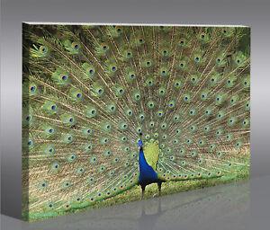 Peacock Pfau 1p Bild Bilder auf Leinwand Wandbild Poster