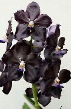 Vanda Dr. Anek X Mimi Palmer 'Midnight Serenade 'Bs Orchid