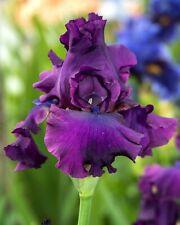 *Nora Eileen* Tall Bearded Iris. Freshly Dug, Combined Ship, Ships Feb/Mar