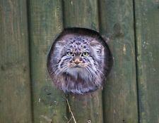 METAL MAGNET Palla's Cat aka Manul Peeking Through Fence Travel England MAGNET