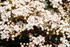 10 Laurustinus / Viburnum Tinus 15-25cm in 9cm Pots, Evergreen Hedging Plants