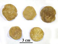NEW!! Rare! Giant Nummulites, Eocene, Armenia, 38-37 m.a., lot of 5 ps #10