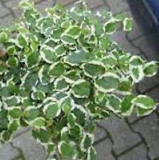 Kletterfeige, Kletterficus  (Ficus pumila) grün weißer Rand