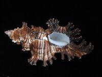 Sea Shells Chicoreus rosarius 116mm ID#4878