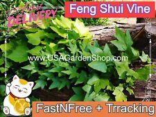 Hedera helix plant Feng Shui Plant Chang Chun Teng Dây thư�ng xuân 10 Live Cut
