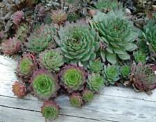 HEN AND CHICKS - 3 live PLANTS - Drought Tolerant Rock Garden - Easy GroCo USA