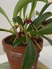 Blooming Masdevallia herrdurae Miniature Orchid!