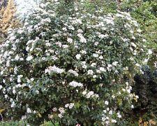 50 Laurustinus Viburnum Seeds, Viburnum Tinus, Shrub Seeds