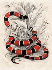 110701 NATURE ANIMAL BIOLOGY CORAL SNAKE KORALLENOTTER LAMINATED POSTER AU