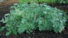*Healthy* Wormwood 200 Seeds Artemisia Absinthium Medicinal Herb From Canada