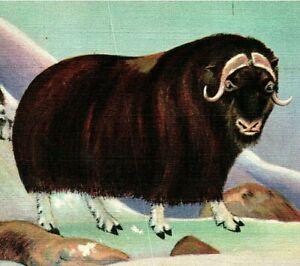 Musk-Ox American Wild Life of the Northwest and Alaska Vtg Linen Postcard