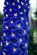 Delphinium x cultorum Magic Fountain Dark Blue/White x 6 jumbo plug plants