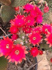 """Peanut Cactus Hybrid~ Chamaelobivia 'Rose Quartz' (6) 2-3"""" Pups Cactus"""