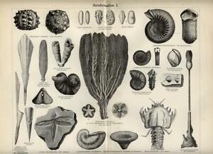 Stampa Antica 1885 = PREISTORIA = GIURASSICO Fossili = Old Print Engraving