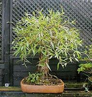 Bonsai Globe Willow Tree - Thick Trunk Cutting - Exotic Bonsai Material