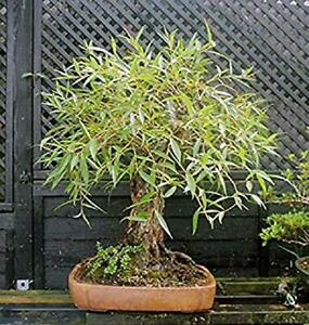 Bonsai Globe Willow Tree - Thick Trunk Cutting - Exotic Bonsai Material