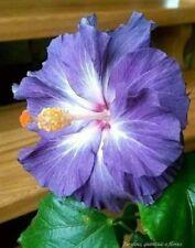 20 Blue White Hibiscus Seeds Flower Garden Flowers Perennial Seed 152 US SELLER