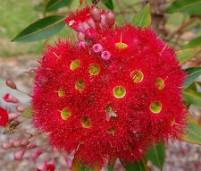 THE Red Flowering Gum (Corymbia, formerly eucalyptus, Ficifolia) - 50  Seeds
