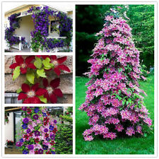 Egrow 100Pcs Clematis Flower Seeds Perennial Vines Climbing Clematis Plant Seed