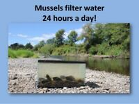 25 Live Freshwater Mussels / Clams. Natural filter for Live Fish Aquariums!