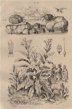 Neritina freshwater snails. Nicotiana (tobacco plant) 1834 old antique print
