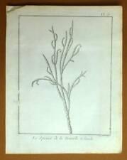 PLANTE LE SPUCE DE LA NOUVELLE ZELANDE Voyage Capitaine James COOK 1778