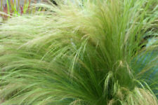 3 Stipa tenuissima Pony Tails textured fluffy grass Low maintenance contemporary