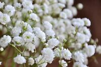 120 Seed Gypsophila white Baby's Breath Bulk Seeds Garden Flowers